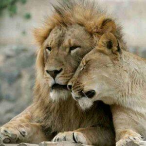 Covid allo zoo di Barcellona: 4 leoni positivi, due impiegati lo hanno avuto il mese scorso