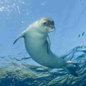 Porto Cesareo, foca monaca mediterranea avvistata in Salento: l'ultima volta fu 50 anni fa