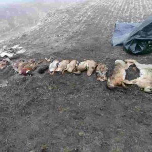 Gazzo Veronese, mais e insetticida contro le nutrie: ma il contadino uccide anche uccelli, lepri, anatre...