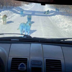 Cani blu in Russia