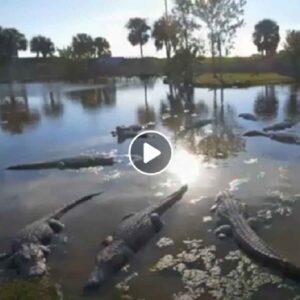 coccodrillo australia