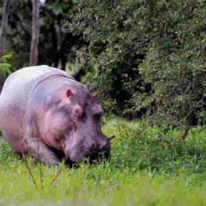 Ippopotami di Pablo Escobar minacciano l'ambiente in Colombia: erano nello zoo privato, ora liberi (e tanti)