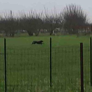 Pantera nera in provincia di Bari: si dirige verso Adelfia, ultimo avvistamento ad Acquaviva delle Fonti