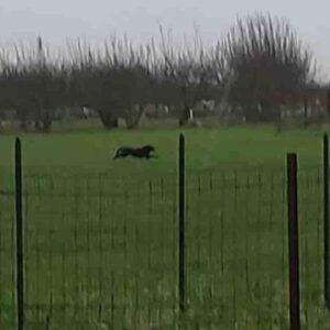 Pantera nera in provincia di Bari: l'ultimo avvistamento a Gioia del Colle, sono in corso ricerche