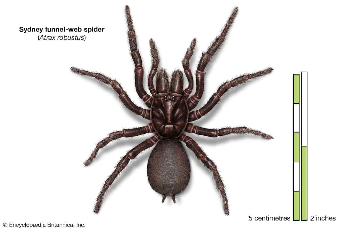 Ragno dei cunicoli australia