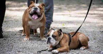 Litiga con la figlia incinta: i suoi bulldog la attaccano, madre di 44 anni muore sbranata