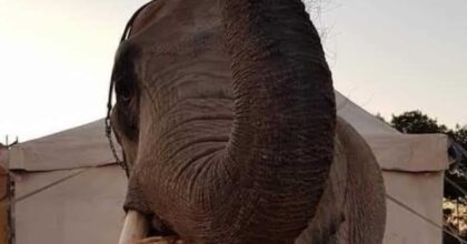 Circhi chiusi, gli animali hanno bisogno di cibo: l'allarme lanciato dai circensi della Sicilia