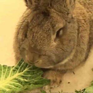 Rapimento del coniglio più grande del mondo: in Gran Bretagna tutti cercano Darius, coniglio da Guinness