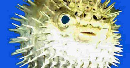 Pesci palla velenosi sulle spiagge del Sudafrica: centinaia di esemplari di Evileye a Città del Capo