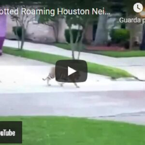 Texas, accusato di omicidio in fuga con la sua tigre. Caccia all'uomo a Houston VIDEO