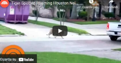 Texas, accusato di omicidio in fuga con la sua tigre. Caccia all'uomo a Houston VIDEO