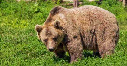 grande orso bruno Arthur ucciso