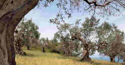 Salento, rubano 200 alberi di olivo resistenti alla Xylella fastidiosa. Nessuno se n'è accorto?