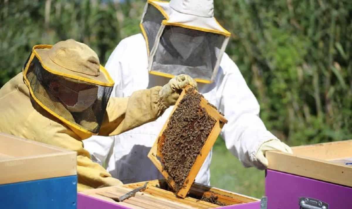 Le api crescono in acciaieria: colonia AST si moltiplica: l'esperimento con gli insetti come bioindicatori