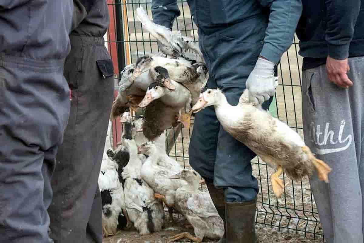 Influenza aviaria H10N3