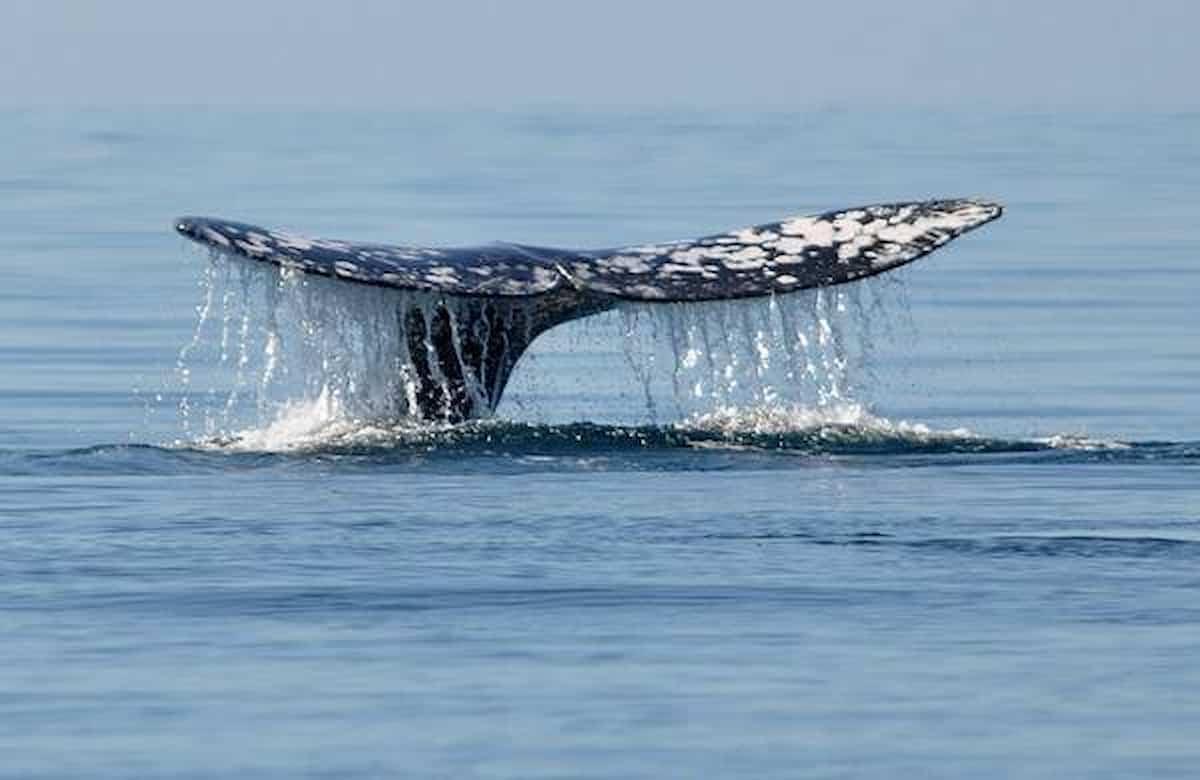 Tesoro balena Yemen