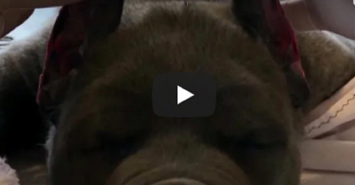 cani di razza con orecchie tagliate