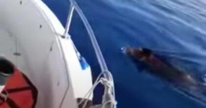 Cinghiali in mare aperto in Sicilia, al largo di Marzamemi (Siracusa): il video del pescatore sbalordito