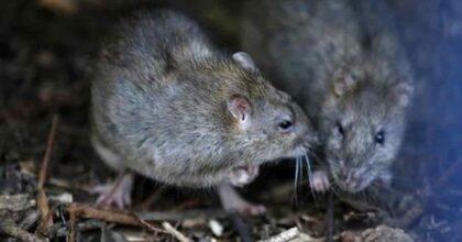 Febbre del topo o hantavirus, un caso in Italia: ecco i sintomi e le raccomandazioni del ministero della Salute