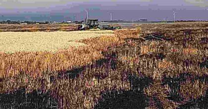 san severo in fumo 100 ettari di grano