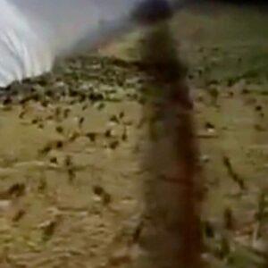 Invasione di topi in Australia: il governo li combatte con il 'napalm' dei roditori, il letale bromadiolone