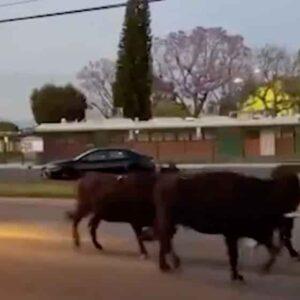 Mucche in fuga dal mattatoio in California, vicino a Los Angeles. La polizia le scorta e le cattura VIDEO