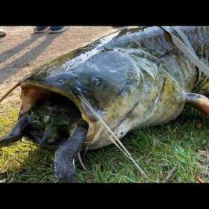 Pesce siluro tartaruga