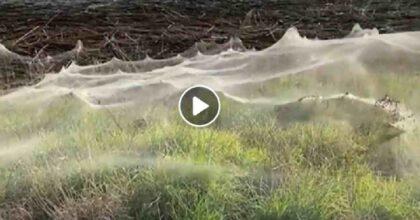 ragnatela ragni australia