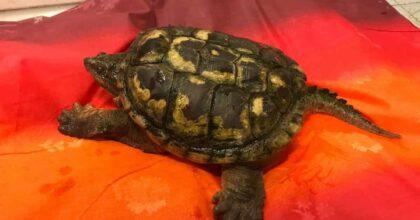 Tartaruga azzannatrice Collegno