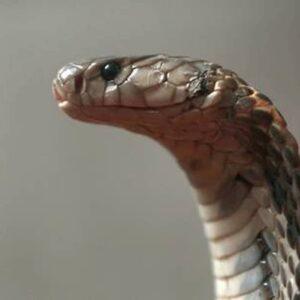 Cobra Sant'Agapito