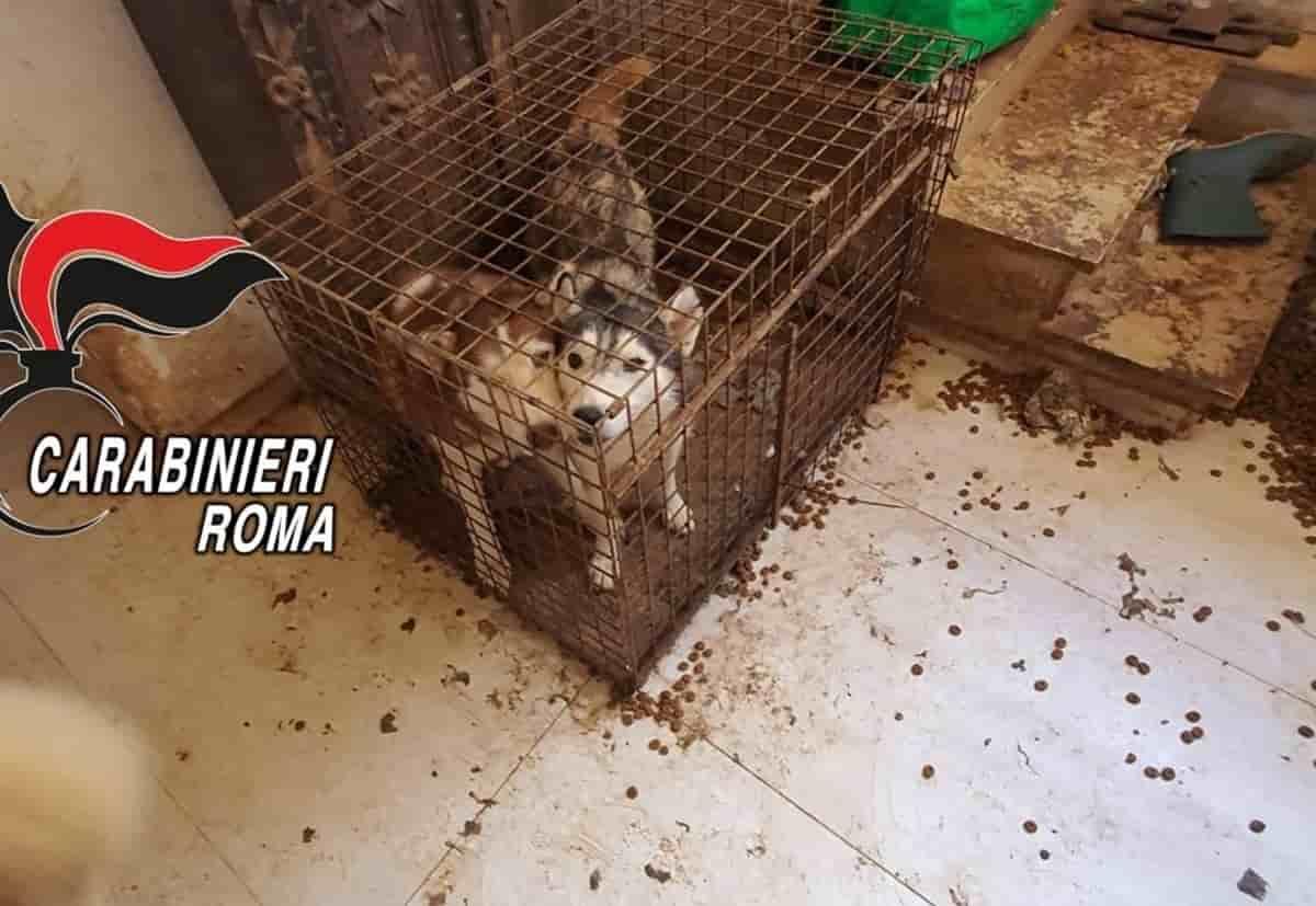 Roma, scoperto allevamento-lager in un villino privato a Ponzano Romano: salvati 110 husky
