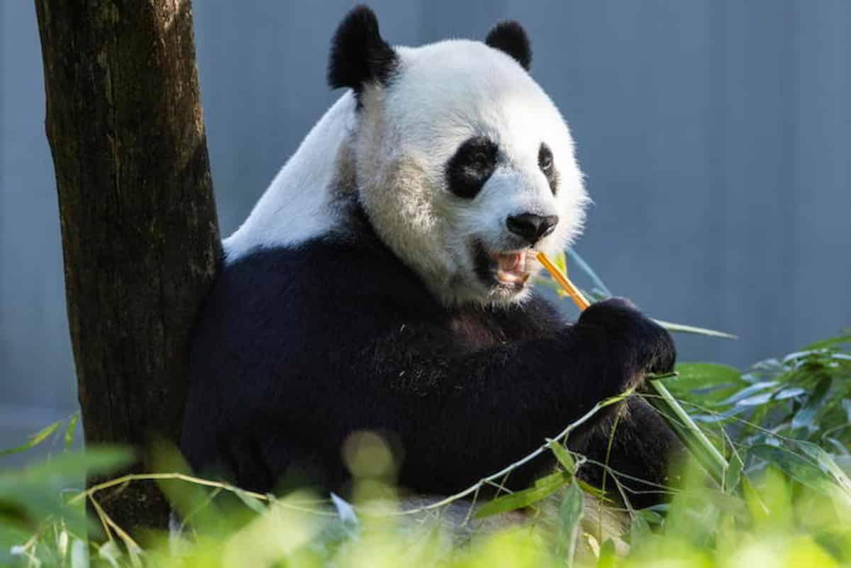 panda gigante estinzione
