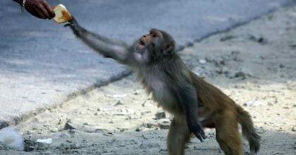 Covid e animali, in Thailandia la terza ondata ha reso le scimmie denutrite