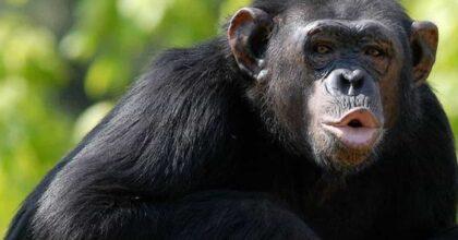 """La guerra tra scimpanzé e gorilla. Gli scienziati: """"E' la prima volta che si sfidano. Forse colpa del riscaldamento climatico"""""""