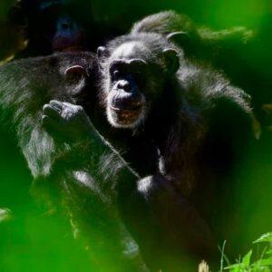 Scimpanzé e gorilla