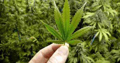 Isola d'Elba, aveva un muro di cannabis alto 2 metri in casa: arrestato un 40enne