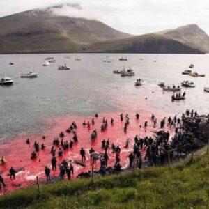 Strage di delfini alle isole Faroe: 1500 animali massacrati nella solita festa tradizionale