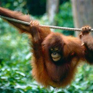 Pony, la storia dell'orango usata come prostituta nei bordelli indonesiani e ora in un centro di riabilitazione