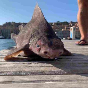 Pesce porco (Oxynotus Centrina), lo squalo che grugnisce trovato sull'Isola d'Elba