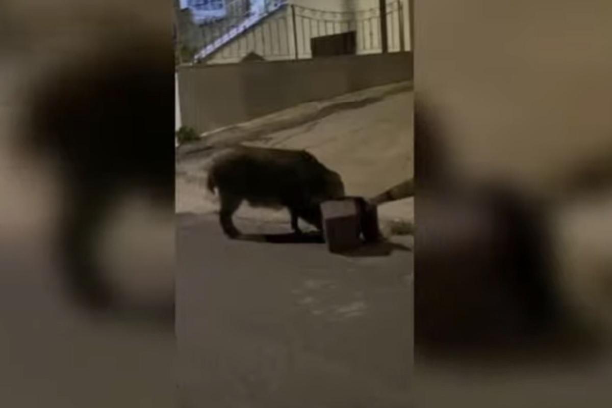 """Cinghiali, non solo Roma: a Nuoro ci sono anche quelli che vanno a """"cena"""" VIDEO"""