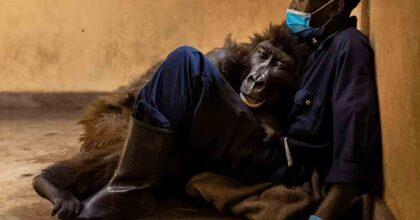 gorilla muore