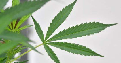 Rovigo busta marijuana