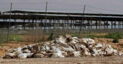 Tacchini del Veneto, focolaio di influenza aviaria: ci sono 13mila animali da abbattere